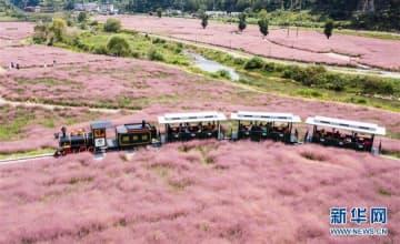 観光客を魅了する「ピンクの海」―貴州省