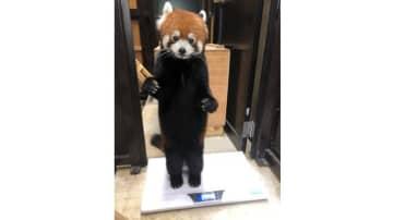 本当に着ぐるみじゃない? 背筋をピーンと直立するレッサーパンダが可愛い 画像