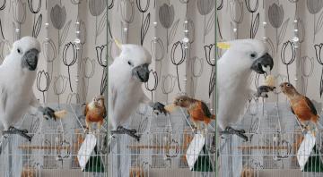 「はいどうぞ」オウムとインコの仲良し食事風景に驚き…なぜ餌を差し出すの?専門家に聞いた 画像