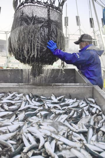 北海道根室市の花咲港で水揚げされるマイワシ。不振のサンマ漁からイワシ漁に切り替える船が多いという=10日