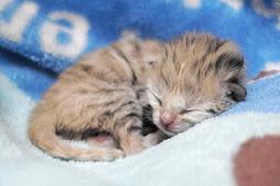 すくすくと成長しているスナネコの赤ちゃん(神戸どうぶつ王国提供)