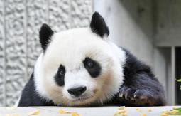 28日から観覧制限が解除されるジャイアントパンダのタンタン=16日、神戸市灘区王子町3、王子動物園(撮影・後藤亮平)