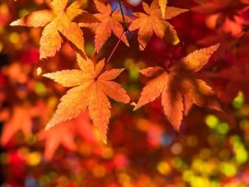 気象予報士・蓬莱さんが教える「今年の秋の気温と京阪神の紅葉情報」