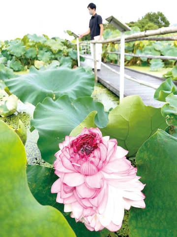 この時季に珍しい…行田市・古代蓮の里で千弁蓮が開花 通常はお盆頃、昨年は1株だけ 今年は3株咲く