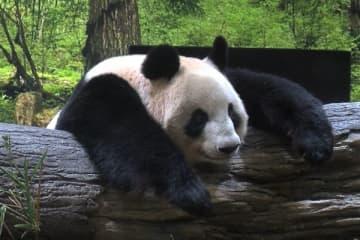 上野動物園パンダのリーリー&シンシンがお引っ越し