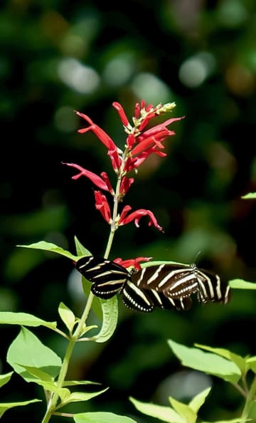 On Gardening: Rockin Golden Delicious salvia festive for all occasions