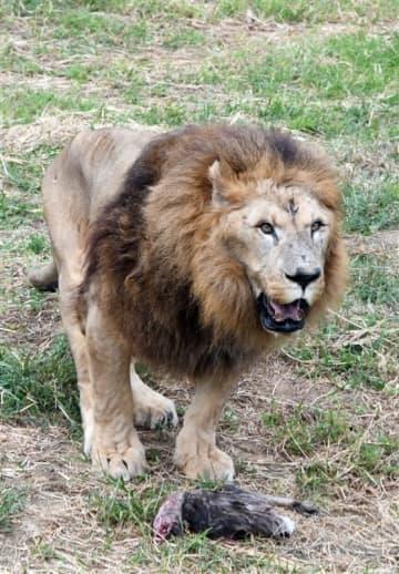 佐世保の長寿ライオン22歳に 人間なら100歳近く