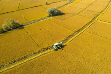 天山山麓に輝く黄金色の稲穂 新疆ウイグル自治区