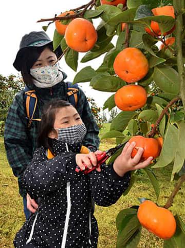 甘柿のもぎ取りを楽しむ親子=寒河江市平野山