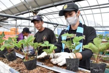 受け入れ先でイチゴの苗を植える学生(右)。長期のインターンシップで新商品開発に取り組む=宮崎市・ひなたいちご園