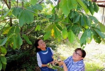 異国の果物「ポポー」見た目はマンゴー、味はバナナ 特産品目指し収穫期