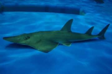 飼育員も気づかず…水族館で長年飼育のエイが実は「新種」だった! 発見の経緯を聞いた