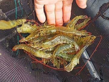 エビ大量死、感染源は輸入稚エビ 「海域への影響低い」 農水省会議