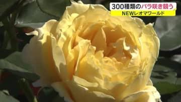 世界各国の300種類咲き競う…NEWレオマワールドで秋の大バラまつり【香川・丸亀市】