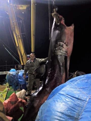 """まるで""""ジョーズ""""…体長5mの巨大ホホジロザメ 北方領土沖でロシアの漁船捕獲「イカ漁の網にかかる」"""