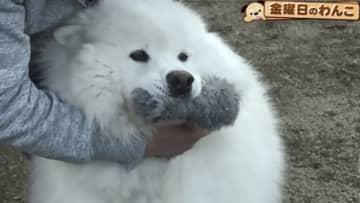 金曜日のわんこ♡蕎麦屋と旅館の看板犬♡白くてふわふわのアイドル♡