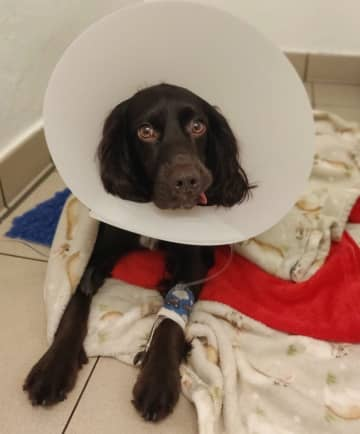 British dog swallows coronavirus mask whole - and survives after op