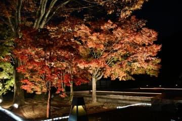 20日から二之丸史跡庭園でライトアップ ヤマモミジを幻想的に演出