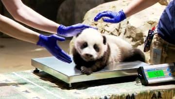 パンダの赤ちゃん 3カ月健診! 健康優良児です! 米・ワシントン 画像