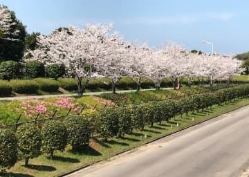緑化され、サクラやツツジが住民を楽しませている九州液化瓦斯福島基地=松浦市福島町(同社提供)