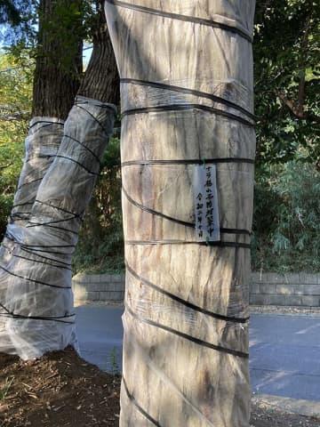 ナラ枯れ予防にシートを巻き付けた樹木=綾瀬市深谷中5丁目の深谷神社