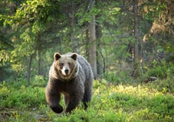"""""""死んだふり""""はNG?クマ(熊)に遭遇時、死なないための具体的行動マニュアル"""