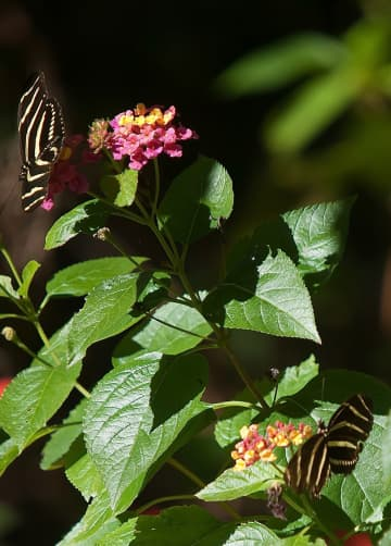 On Gardening: Longwing butterflies creating Halley's Comet-type moments