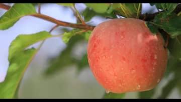 砂漠地帯で蜜入りリンゴを栽培 新疆アクス地区