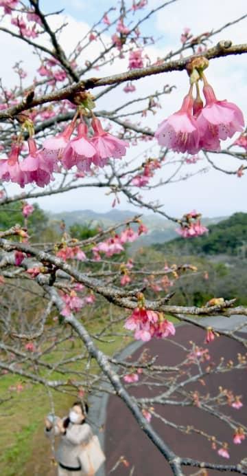 ほころび始めた八重岳のヒカンザクラ=13日午前、本部町(伊禮健撮影)