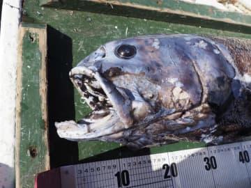 140cm新種の巨大深海魚発見 静岡沖、「ヨコヅナイワシ」 画像