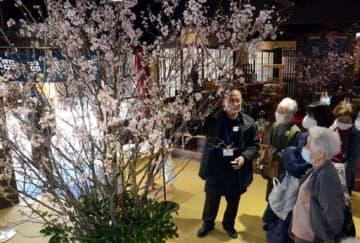 鮮やかに咲いた桜の花を観賞する来館者たち