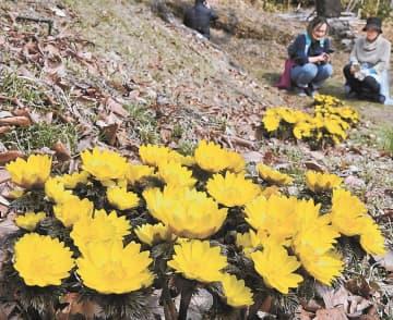 春を思わせる陽光の下、鮮やかな花を咲かせる大蔵寺のフクジュソウ