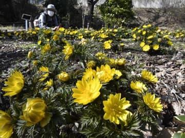 4月中旬並みの陽気の中、満開になったフクジュソウ=22日午後2時2分、各務原市川島笠田町、河川環境楽園