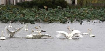 瓢湖で羽を休めるハクチョウ=阿賀野市