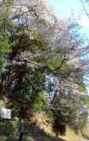 満開を迎えた渕田坂の山桜=23日、鹿児島市喜入町