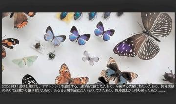 フクシマプロジェクトのHPに掲載されているヤマトシジミの写真