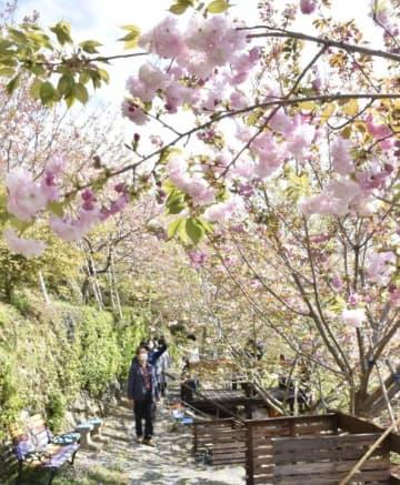 多様な八重桜が咲き乱れる花木園の遊歩道
