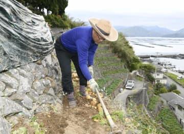 遊子水荷浦地区の段畑で育った早掘りジャガイモを収穫する鳥井さん