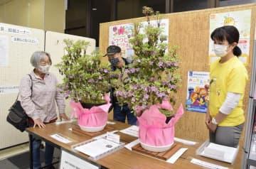 宇和島市役所本庁舎に展示されているトキワバイカツツジの鉢植え