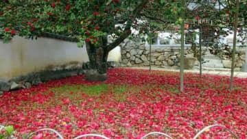 樹下を覆い尽くす真っ赤なツバキ。趣たっぷりだ=矢掛町の圀勝寺、6日午後撮影