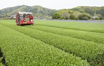 茶畑を無人で動き、新茶を収穫する茶摘み機=8日、鹿児島県志布志市