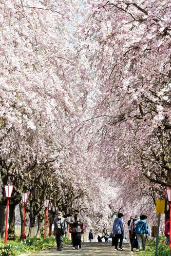 多くの人が行き交う満開の桜並木=8日