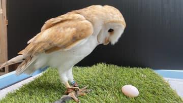 """飼育員どよめく…雄のはずのフクロウが「卵を産みました」!? """"性別間違い""""のワケを動物園に聞いた 画像"""