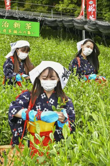 宇治茶の新芽を摘む「宇治茶レディ」=1日午前、京都府宇治市