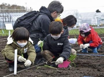 親子連れなどが参加した「札幌黄」の苗植え体験
