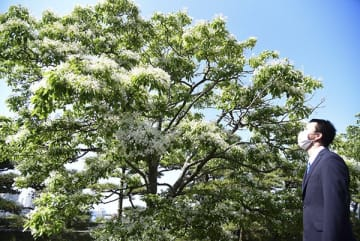 【満開を迎えたナンジャモンジャの花=鳥羽市のミキモト真珠島で】