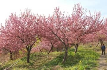 棚田跡に植栽され、見頃を迎えている八重桜=柏崎市清水谷