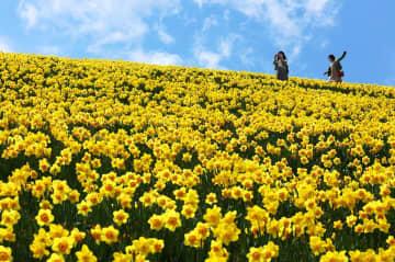 ゲレンデ一面を黄色く染めるスイセンの花(大津市木戸・びわ湖バレイ)