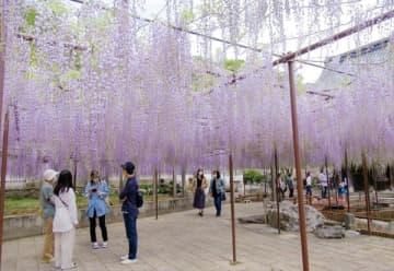 観賞者の頭上で咲く藤の花=本庄市児玉町高柳の長泉寺