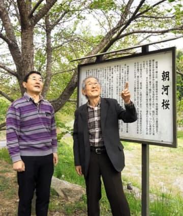 朝河桜の前で立子山の歴史継承を誓う朝倉さん(右)と斎藤さん